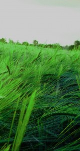 Green-Wheet-Reed-Field-iphone-5-ios7-wallpaper-ilikewallpaper_com