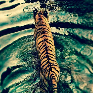 Tiger-ipad-air-wallpaper-ilikewallpaper_com