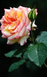 Bloom-Flower-Macro-iphone-4s
