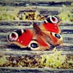 butterfly_wings_patterns_110303_2048x2048