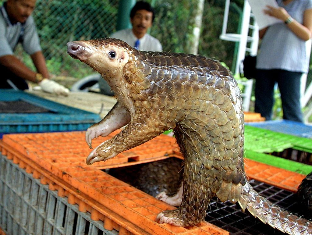 A Malayan pangolin is seen out of its cage after b